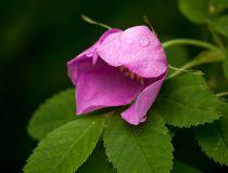 Sleepy rose