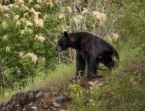 Creston Valley bear
