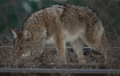 Coyote attack