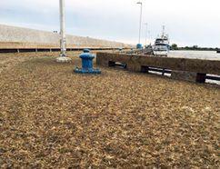Fish flies have overrun the pier in Gimli. (PHOTO COURTESY SUZANNE BARROW)