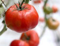 File photo of tomatoes (Postmedia Network)