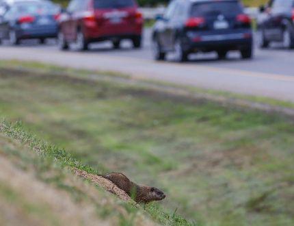 DVP groundhogs