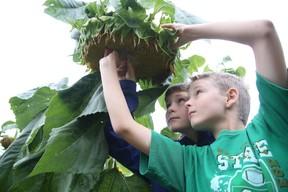 Gino Donato/Sudbury Star Nicholas and Jacob Sharkey pick seeds out of a sunflower at the Delki Dozzi community garden.