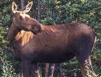 File photo of a female moose. (Strekoza2/Getty images)