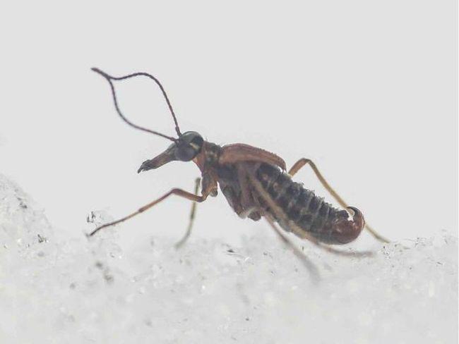 A male scorpion fly