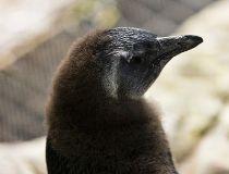Nina the African penguin_1