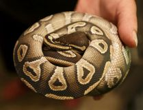 Ball python (Ian Kucerak/Postmedia Network files)