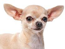 File photo of a chihuahua dog