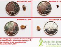 Black-legged deer ticks at various points in development