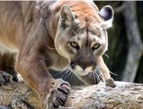 Cougar. (Postmedia File photo)