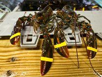 Lobster FILES May 23/17