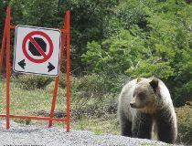 Bear Kootenay National Park