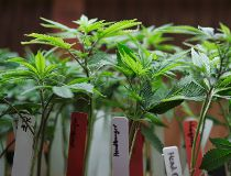 Marijuana plants FILES June 14/17