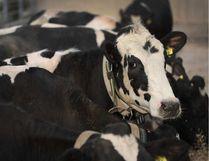 File photo of a Holstein dairy cow. SCOTT OLSON / GETTY