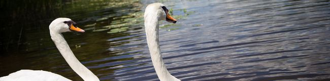 Swans return to Canada's capital