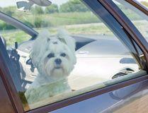 Summer heat means danger for pets left in cars