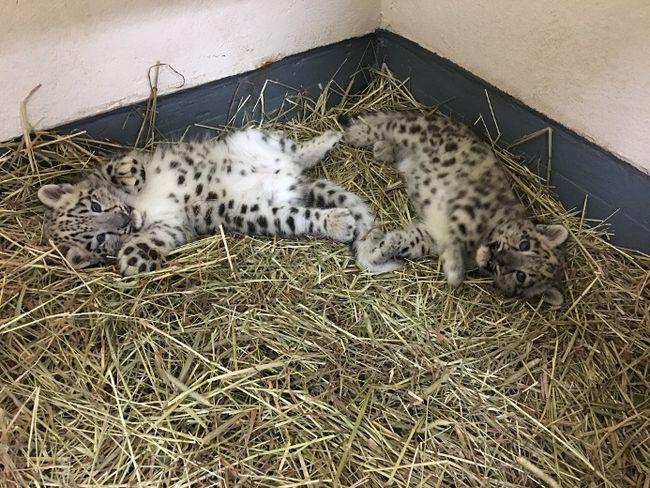 Toronto Zoo Snow Leopard Cub Dies