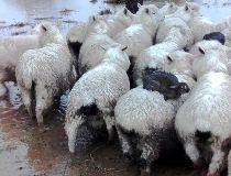 rabbits surf sheep
