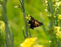 Butterfly california