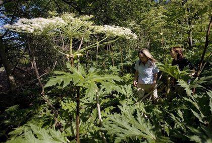 Giant hogweed FILES Aug. 9/17