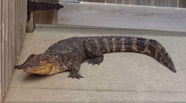 An alligator is captured in the yard of Hamilton resident Walter Ertsinian on Aug. 8, 2017. (Facebook)