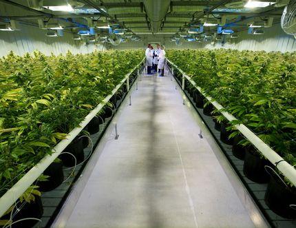 Thousands of marijuana plants grow inside one of ten grow rooms at Aurora Cannabis' 55,000 square foot medical marijuana production facility near Cremona, Alberta on Wednesday July 27, 2016. Gavin Young/Postmedia