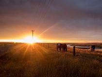 Bassano cattle