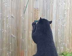 A black bear raids a birdfeeder in a Minnow Lake backyard. (Photo supplied)