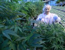 Medical marijuana production at an Aphria greenhouse in Leamington. DAN JANISSE / WINDSOR STAR