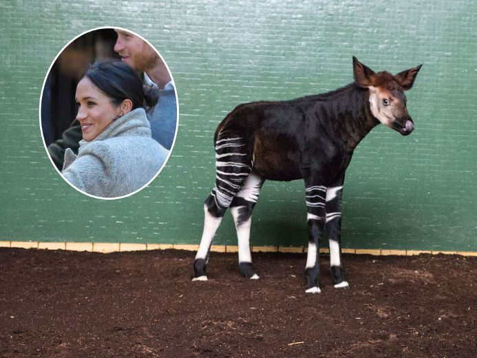 What an honour? London Zoo names newborn okapi 'Meghan' to celebrate royal wedding