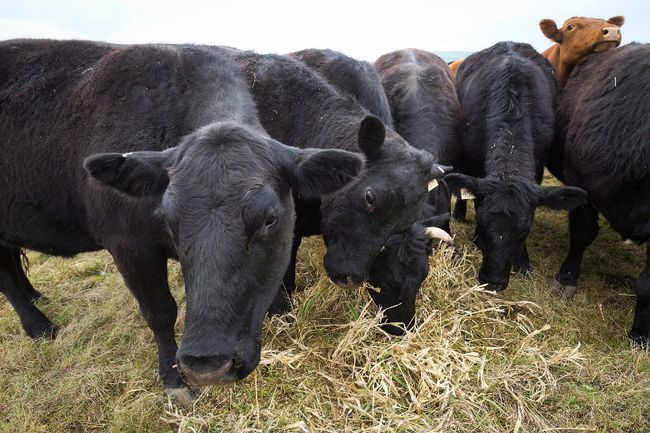 Cattle graze near Black Diamond, Alta., Friday, May 13, 2016. (The Canadian Press)