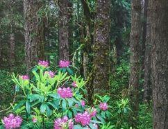 Rhododendron Forest by Terrance Klassen.