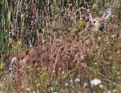 A deer peeks through the grass outside Smiths Falls Ontario Sept 6, 2016. (Tony Caldwell/Postmedia Network)