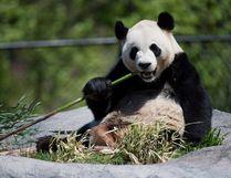 Giant panda Da Mao eats bamboo at the Toronto Zoo on Thursday, May 16, 2013. THE CANADIAN PRESS/Nathan Denette