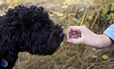Janet Thompson feeds Onyx, a Portugese Water Dog, a treat in Terwillegar Park in Edmonton.   (CODIE MCLACHLAN / EDMONTON SUN)