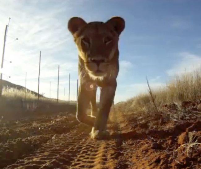 Lion Steals Camera