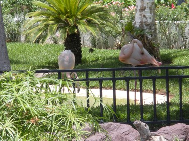 Flamingos stroll the grounds at the Pueblo Bonito Los Cabos Resort & Spa. (Nicole Feenstra/QMI Agency)