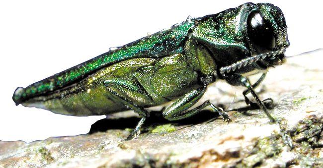 The highly destructive emerald ash borer. (QMI Agency files)