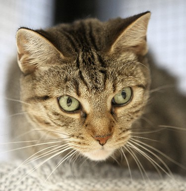 Lyela is a six-year-old female domestic shorthair at the Winnipeg Pet Rescue Shelter. (BRIAN DONOGH/Winnipeg Sun)