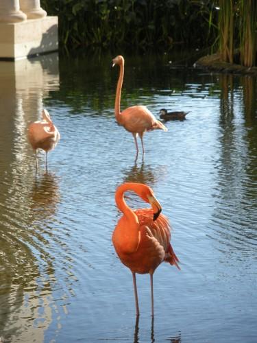 Flamingos roam one of the pools at the Iberostar Grand Hotel Bavaro. (Nicole Feenstra/QMI Agency)