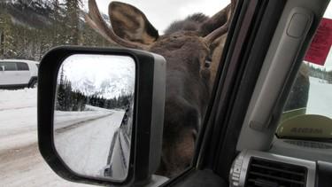 A bull moose boldly licks the road salt off my truck along Smith-Dorrien Trail in Spray Lakes Provincial Park west of Calgary, Alberta, on November 29, 2011. MIKE DREW/CALGARY SUN/QMI AGENCY