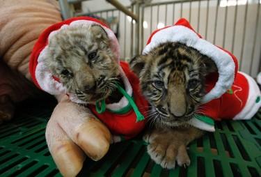 Tiger cubs dressed as Santa Claus are seen near a sow on Christmas Eve at the Sriracha Tiger Zoo near Bangkok December 24, 2011. REUTERS/Sukree Sukplang
