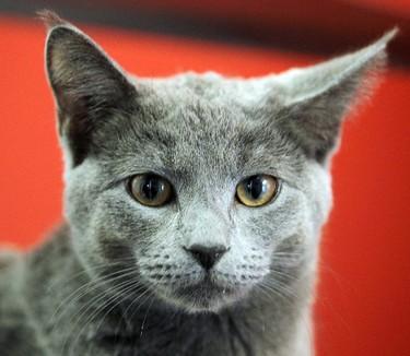 """Tina"" is a nine month old female domestic shorthair mix at the Winnipeg Humane Society. BRIAN DONOGH/WINNIPEG SUN/QMI AGENCY"
