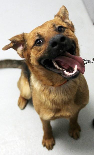 """Maxwell"" is a one year old male Shepherd mix at the Winnipeg Humane Society. BRIAN DONOGH/WINNIPEG SUN/QMI AGENCY"