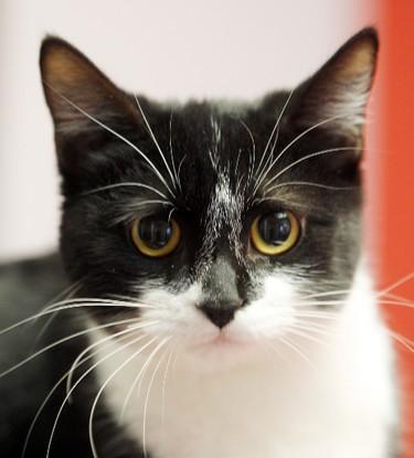 """Martha"" is a ten month old female domestic shorthair mix at the Winnipeg Humane Society. BRIAN DONOGH/WINNIPEG SUN/QMI AGENCY"
