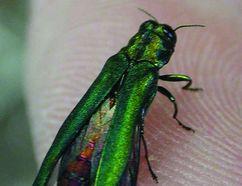 The destructive emerald ash borer (file photo)