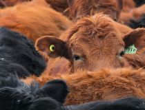 Alberta Beef cattle FILER
