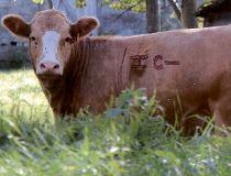 Hobbs cow