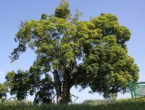 oldest maple tree