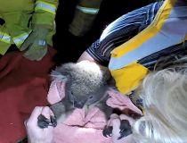 Koala Sir Chompsalot